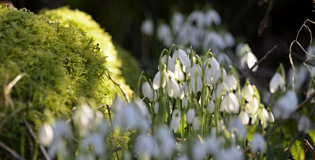 Catherine Coulson - Snowdrop Study D