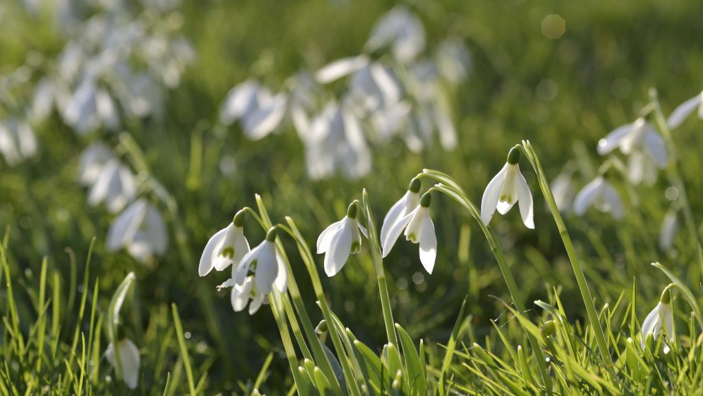 Catherine Coulson - Snowdrop Study H