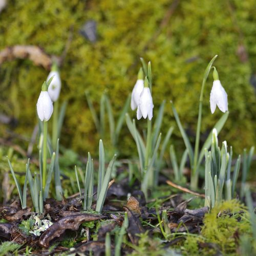 a photograph of snowdrops by Catherine Coulson © 2020 Catherine Coulson