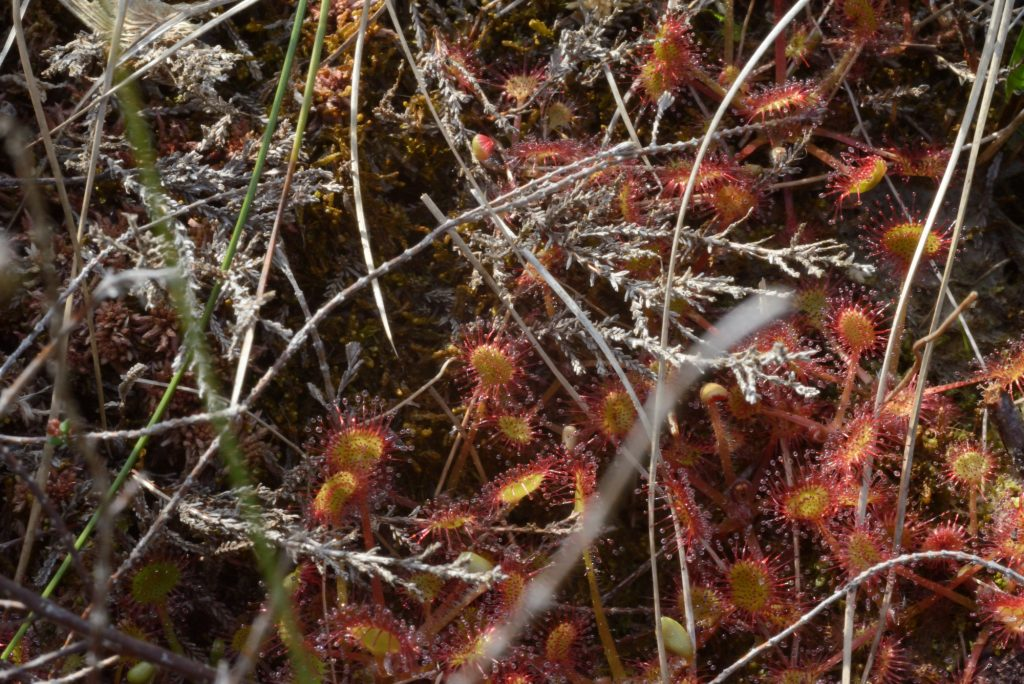 A photograph of a Round-leaved Sundew on the peat bog at Kirkconnell Flow © 2018 Catherine Coulson