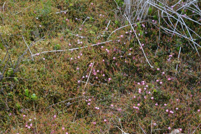 a photograph of Low creeping form of bog-cranberry in flower at Kirkconnell Flow by Catherine Coulson © 2018 Catherine Coulson