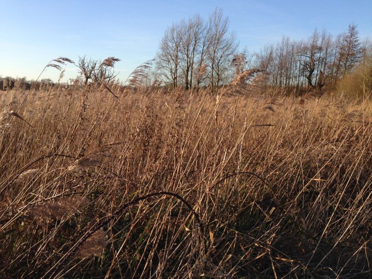 Reedbeds at Hen Reedbeds nature reserve by Catherine Coulson © 2020 Catherine Coulson