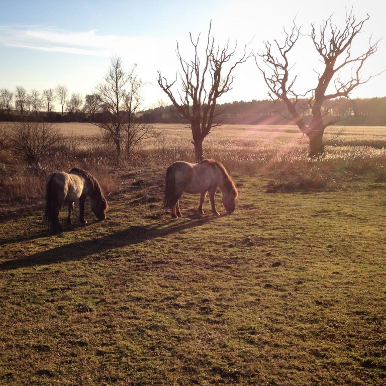 A photograph of Konic ponies grazing the reserve at Hen reedbeds in Suffolk by Catherine Coulson © 2018 catcoulson.art