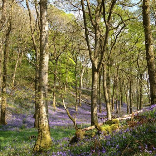 a photograph title 'Bluebell Arc, Carstramon Wood' by artist Catherine Coulson © 2020 Catherine Coulson