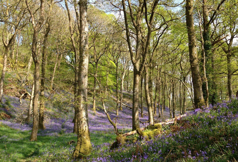 Bluebell Arc, Carstramon Wood