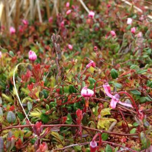 a photograph of bog cranberry at Kirkconnell Flow by Catherine Coulson © 2020 Catherine Coulson