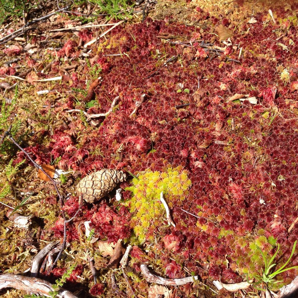 a photograph of red sphagnum moss and a pinecone at Kirkconnell Flow by Catherine Coulson © 2020 Catherine Coulson