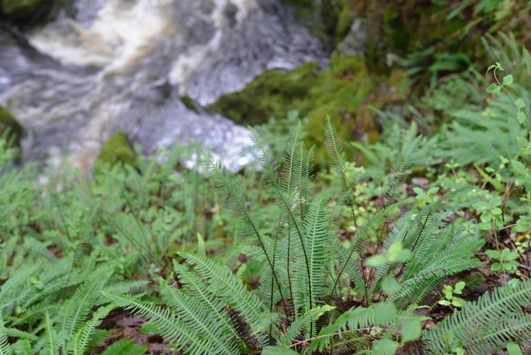 A photograph illustrating the wet ravines are ideal habitats for bryophytes, lichens and ferns at Wood of Cree © Catherine Coulson 2018 catcoulson.art