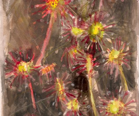 a photograph of a gouache painting title 'Round-leaved sundew study, Kirkconnell Flow' by artist Catherine Coulson © 2018 Catherine Coulson