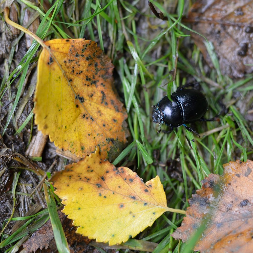 a photograph of a Dor Beetle (Geotrupidae) near it's burrow at RSPB Wood of Cree © Catherine Coulson 2019 catcoulson.art