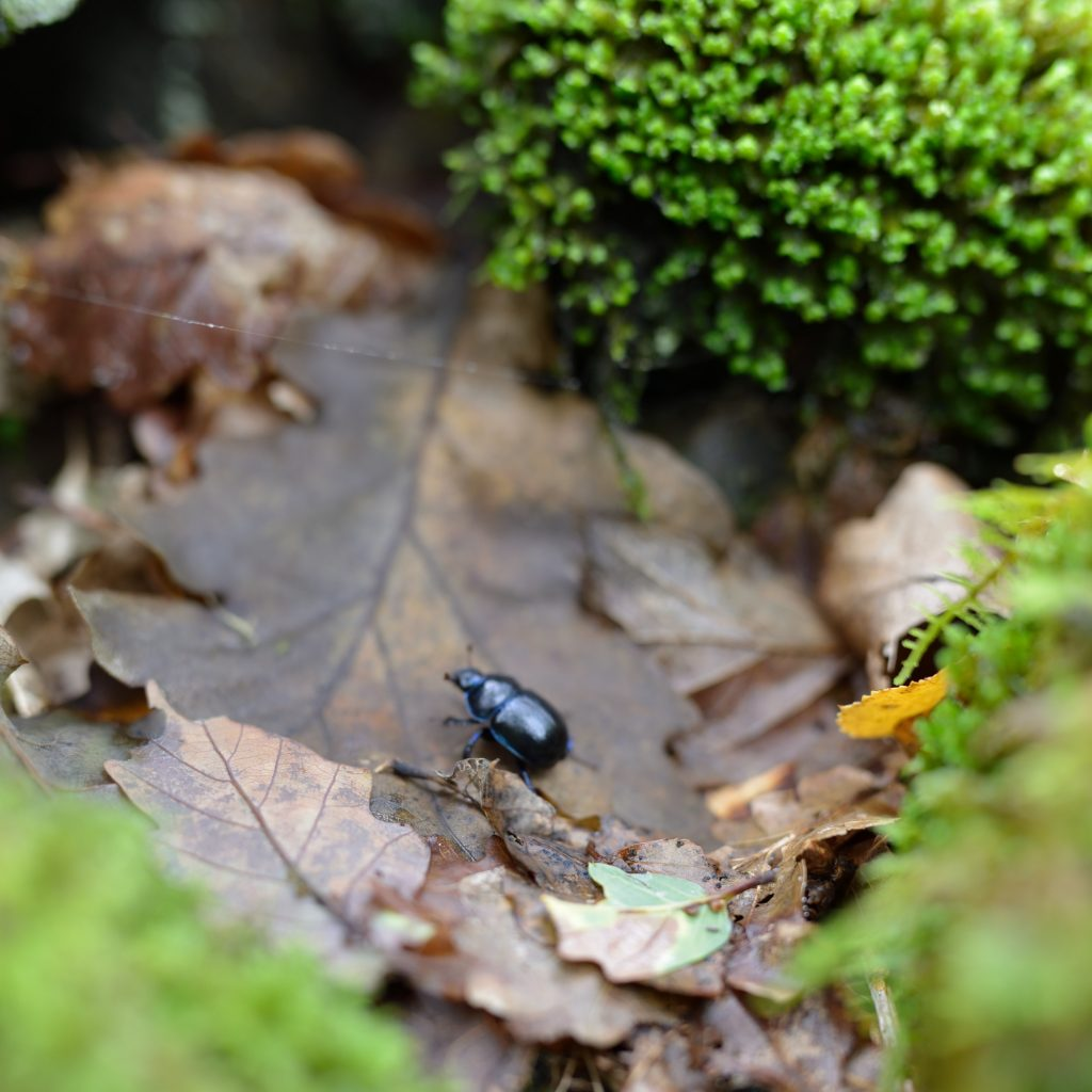 a photograph of a Dor Beetle (Geotrupidae) recycling leaf litter at RSPB Wood of Cree © Catherine Coulson 2019 catcoulson.art
