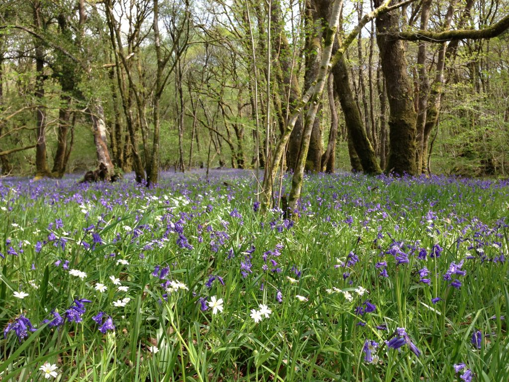 a photograph illustrating bluebells as an indicator of ancient woodland at RSPB Wood of Cree © Catherine Coulson 2019 catcoulson.art