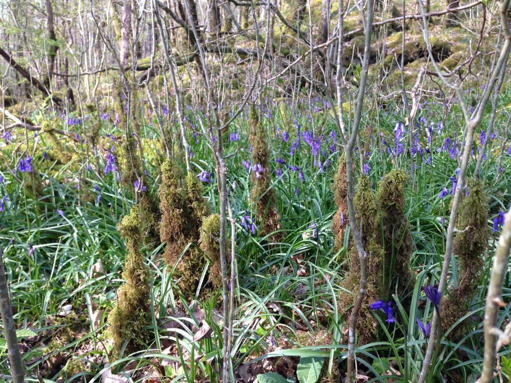 a photograph illustrating wet woodland bluebell ground flora with moss at RSPB Wood of Cree ©Catherine Coulson 2019 catcoulson.art