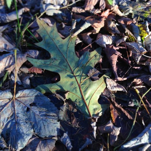 photograph of a green oak leaf lying amongst fallen Autumn leaves by Catherine Coulson © 2020 Catherine Coulson