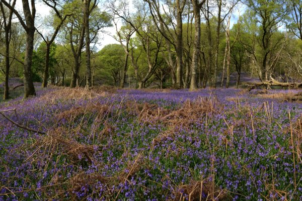 a photograph of bluebells in Carstramon Wood, Dumfries and Galloway by Catherine Coulson © 2020 Catherine Coulson