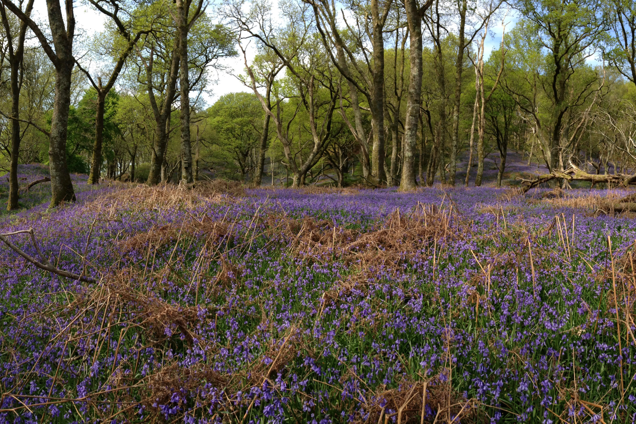 Bluebell Swathe, Carstramon Wood
