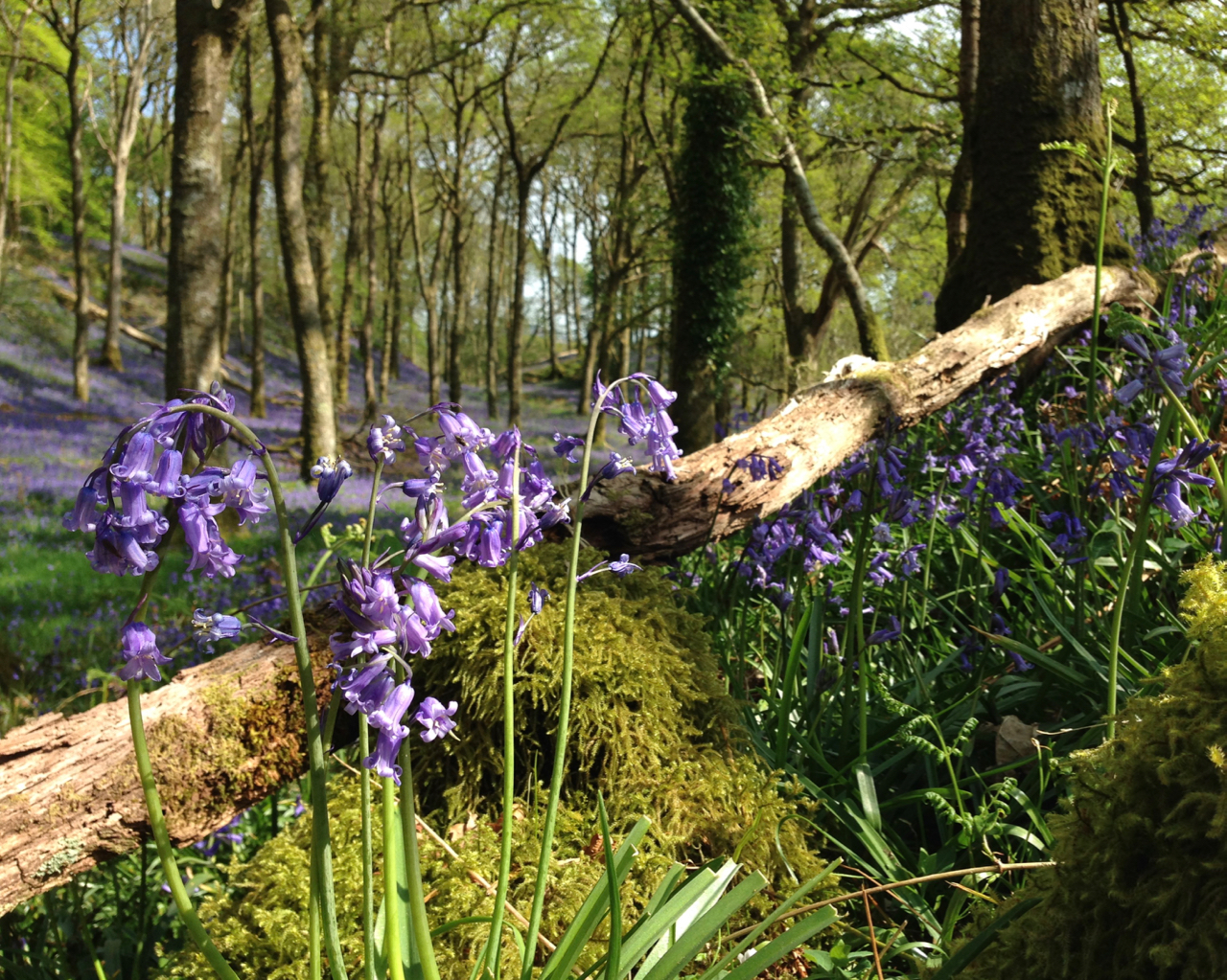 Bluebells and Moss, Carstramon Wood