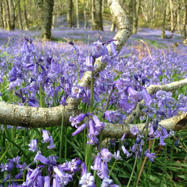 a photograph of bluebells in Carstramon Wood by Catherine Coulson © 2020 Catherine Coulson