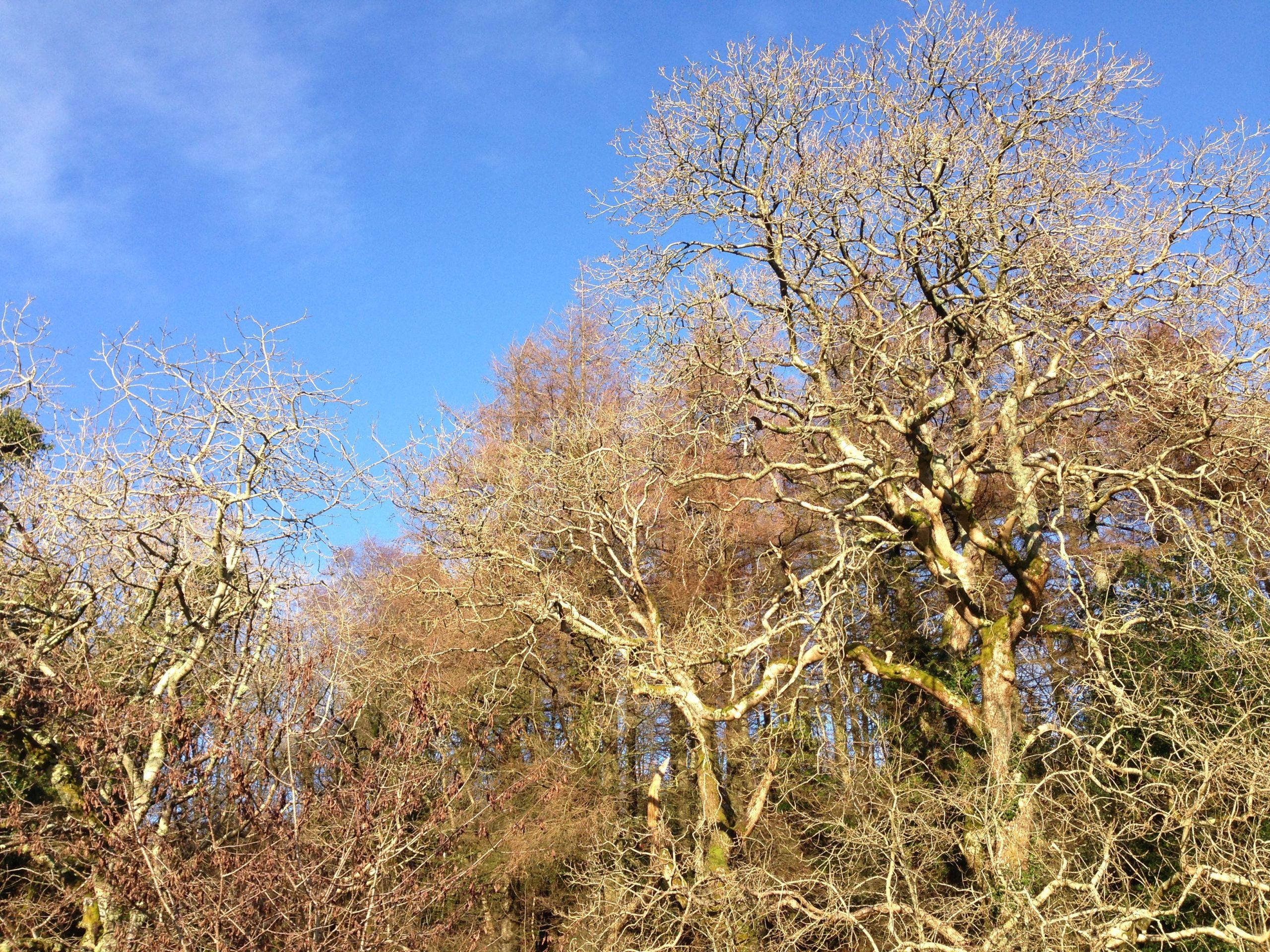 Ash trees, January