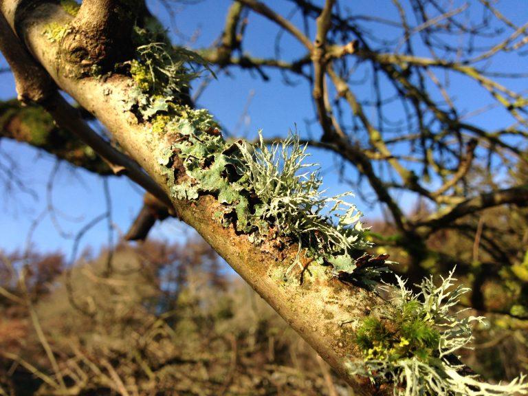 Ash tree lichen © Catherine Coulson