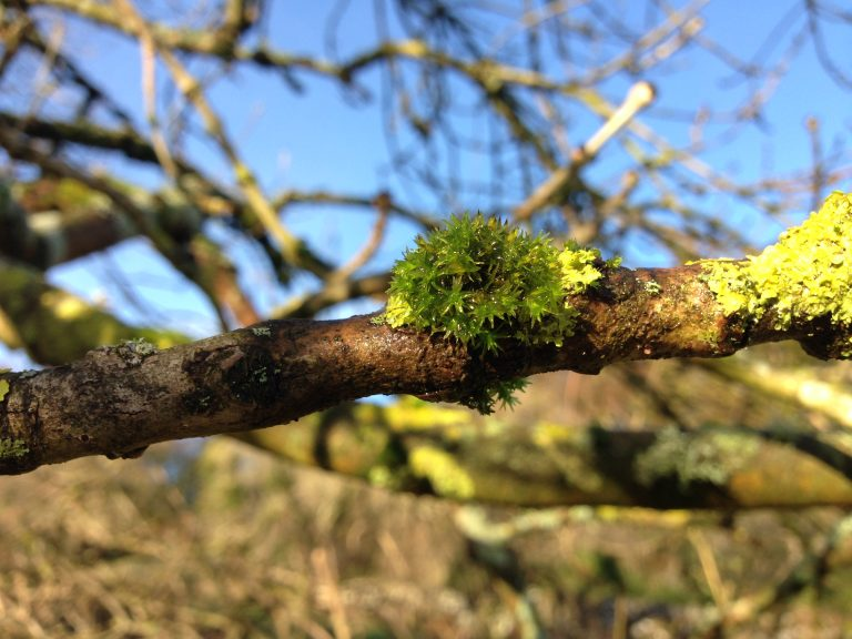 Ash tree moss © Catherine Coulson