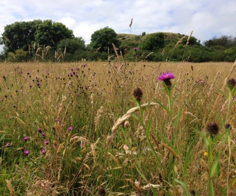 a photograph of a hay meadow in summer © Catherine Coulson