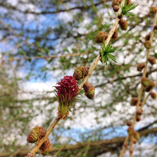photograph of a larch rose by Catherine Coulson © 2020 Catherine Coulson