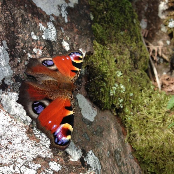 photograph of a peacock butterfly on a stone wall by Catherine Coulson © 2020 Catherine Coulson