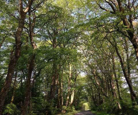 a photograph of a beech tree tunnel in Laurieston, Dumfries and Galloway by Catherine Coulson © 2020 Catherine Coulson