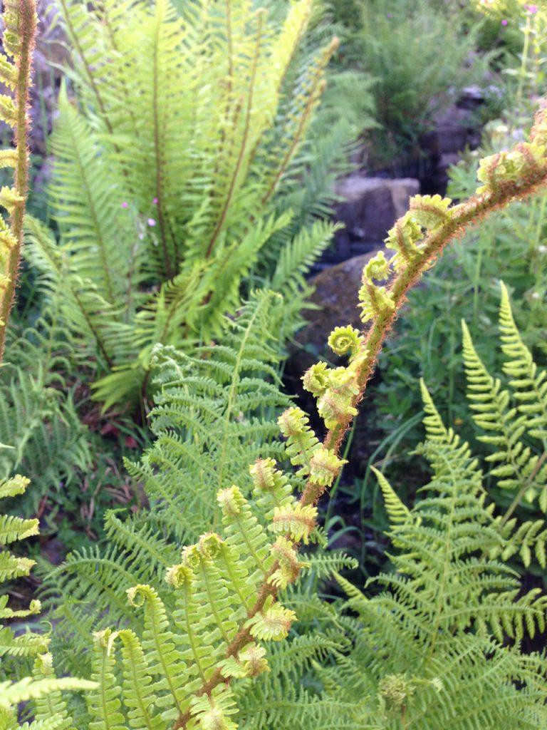 a photograph of a fern unfurling © 2020 Catherine Coulson catcoulson.art