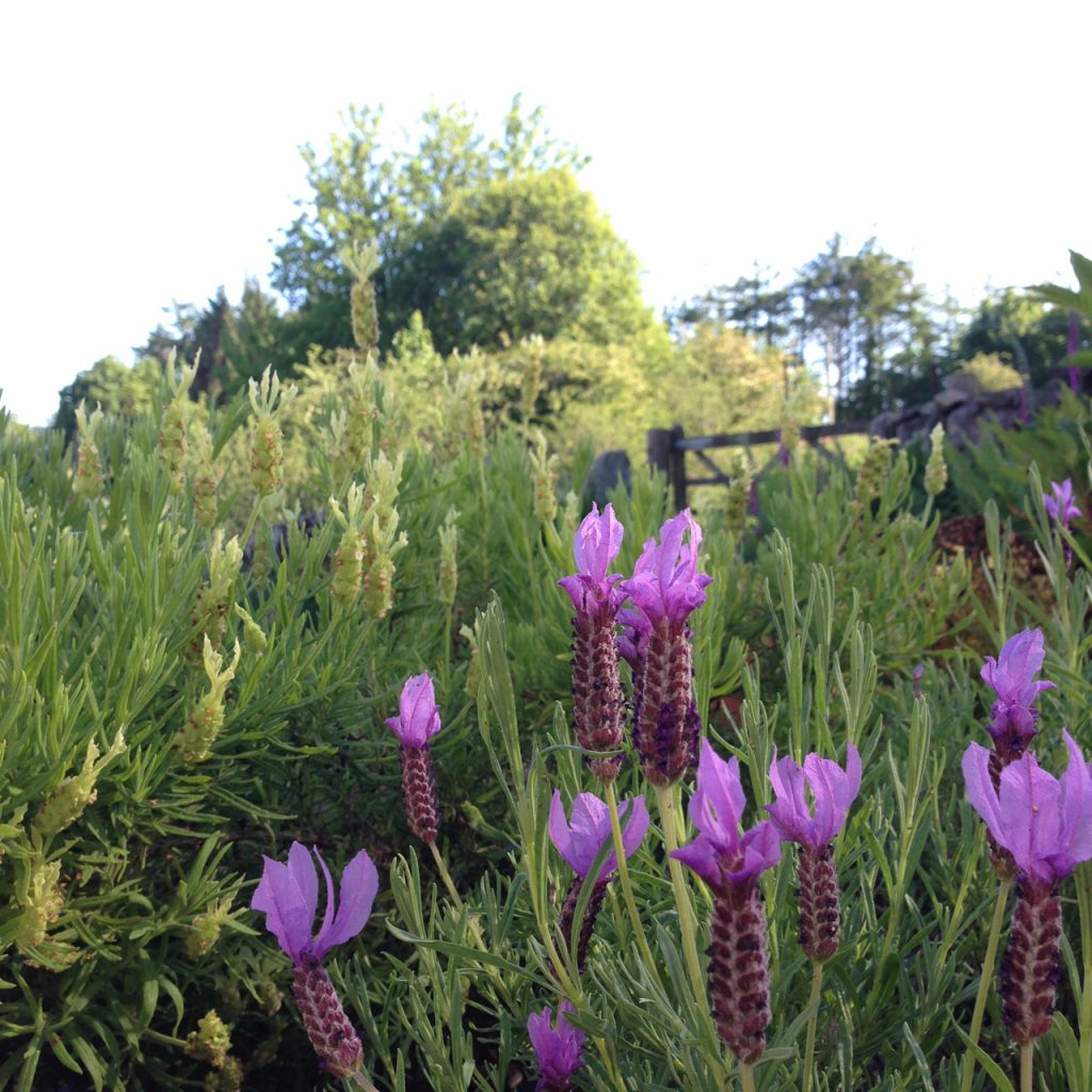 a photograph of french lavender © 2020 Catherine Coulson catcoulson.art