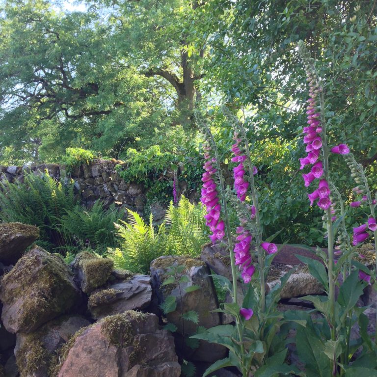 a photograph of foxgloves in a garden with stone wall and ash tree © 2020 Catherine Coulson catcoulson.art