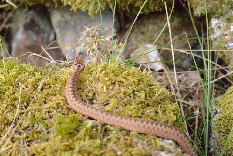 a photograph of a juvenile adder (Vipera berus) in July © Catherine Coulson 2020 catcoulson.art