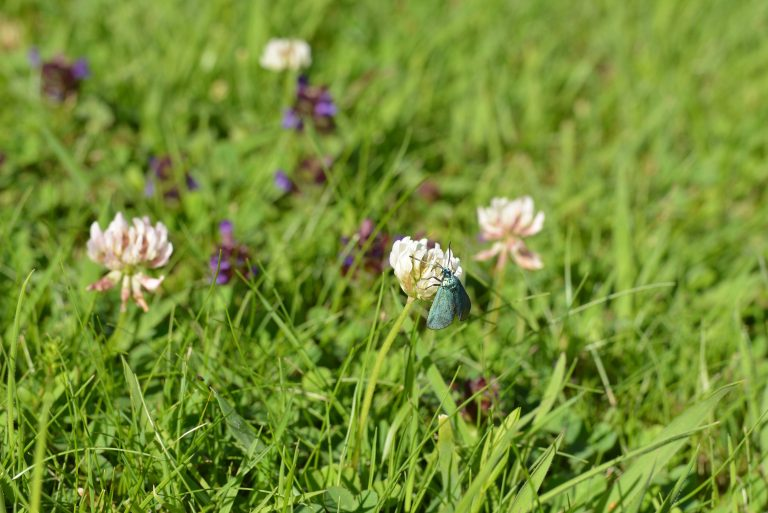 a photograph of a forester moth on clover in July © Catherine Coulson 2020 catcoulson.art