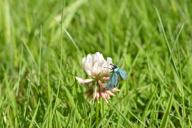 a photograph of a forester moth on clover with open wings in July © Catherine Coulson 2020 catcoulson.art