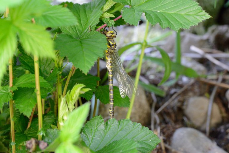 A photograph of a Golden-ringed Dragonfly (Cordulegaster boltonii) © Catherine Coulson 2020 catcoulson.art