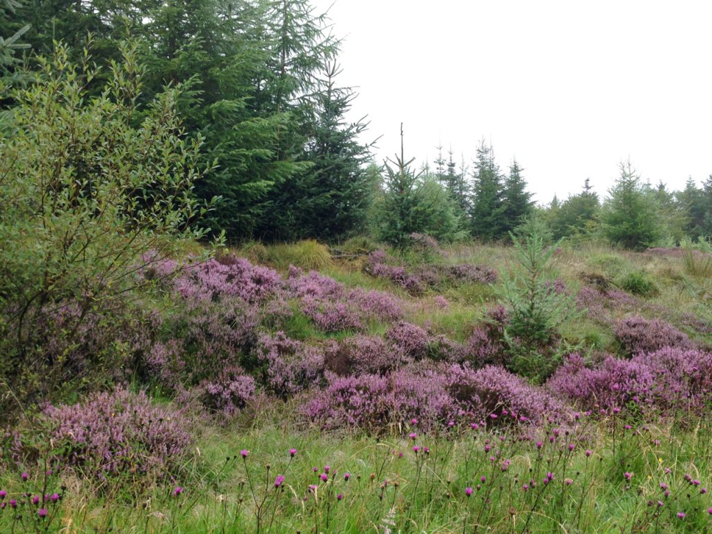 A photograph of Heather, Laurieston Forest © Catherine Coulson 2020 catcoulson.art