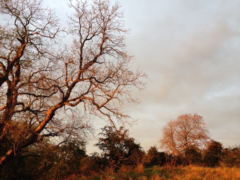a photograph of heathland ash trees with amber Autumn sunlight, October 2020 © Catherine Coulson 2020 catcoulson.art