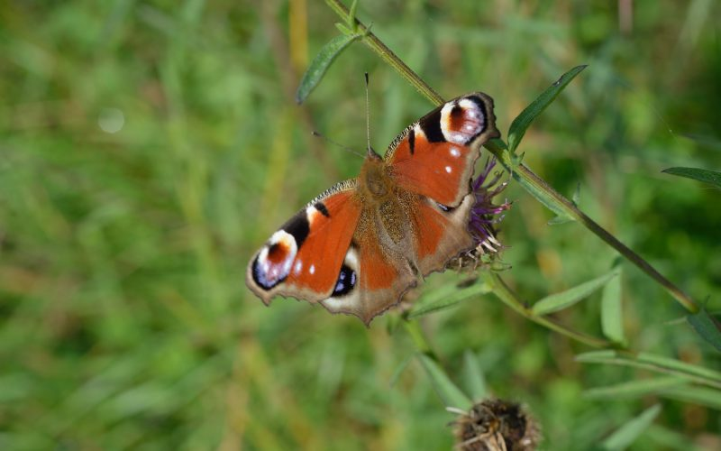 a photograph of a peacock butterfly in a water meadow at RSPB Wood of Cree © Catherine Coulson 2019 catcoulson.art