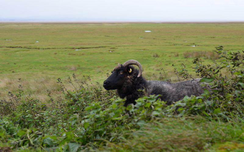Hebridean Sheep at Saltcot Tower, WWT Caerlaverock