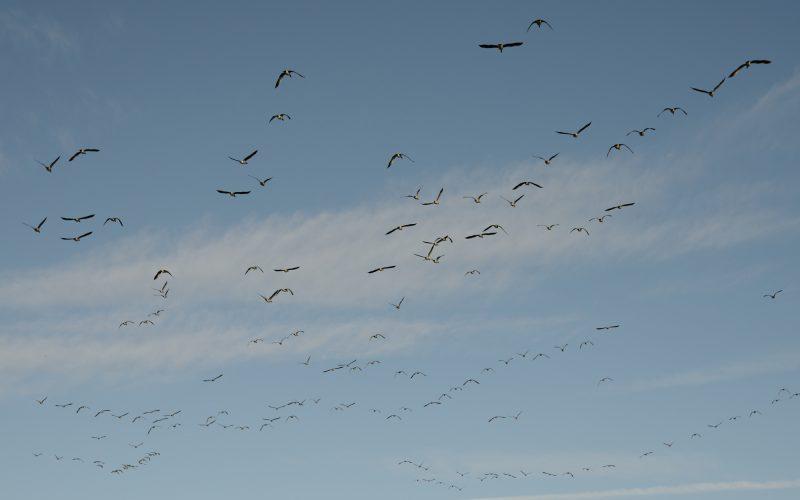 Geese in flight, Caerlaverock