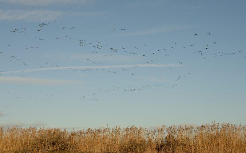 Reed formation, Caerlaverock