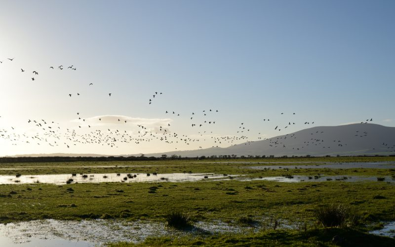 Barnacle geese over flooded fields at Caerlaverock