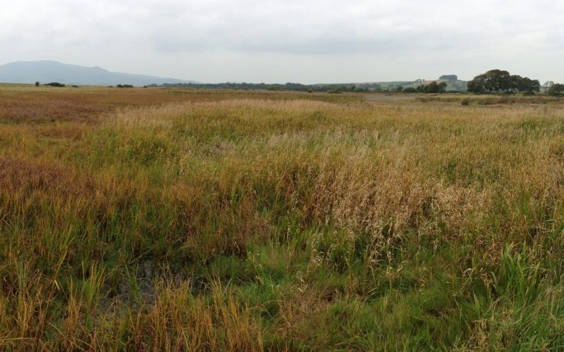 Different grasses on the merse at Caerlaverock NNR