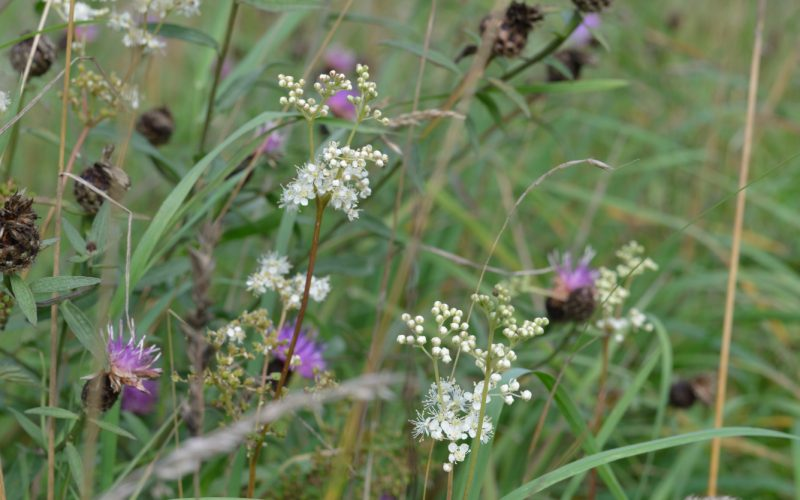 a photograph of meadow flowers at RSPB Wood of Cree © Catherine Coulson 2018 catcoulson.art